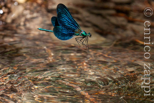 """Calopteryx Virgo (♂) colto in volo sull'acqua durante le evoluzioni """"nuziali"""", con le sue leggiadre ali, muove l'aria sottostante creando cerchi circoncentrici sulla limpida acqua dell'Alferello."""