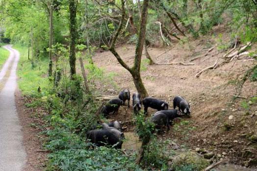 Les porcs pénétrant dans le lit et les abords du cours d'eau contaminent l'eau, détruisant ce milieu sensible