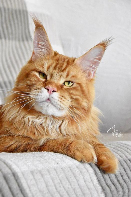 Yoda Oldbluz  кот красный мраморный MCO d 22