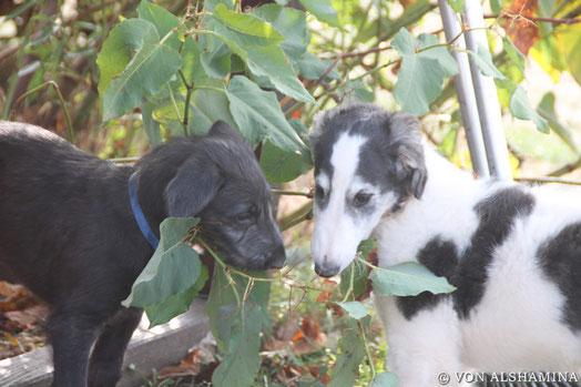 Scottish Deerhound & Barsoi - die perfekte Windhundkombination! Scottish Deerhounds aus der Eifel mit FCI Stammbaum! Der Deerhound-ein sanfte, graue Zottel mit viel Charme!