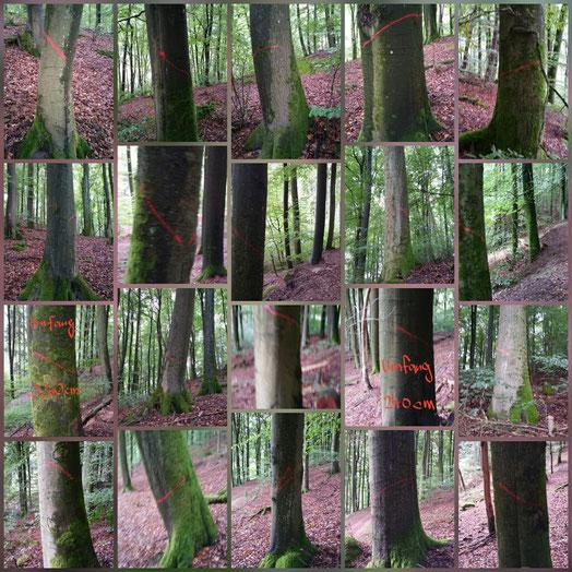 Buchenernte Rheinland-Pfalz, Pfälzerwald,  Fotomontage I.Körner