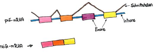 Abb. 5: Überspringen von Exons (exon skipping)