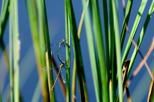 _DSC6860_Demoiselle bleue-Coenagrion puella-Coenagrionidae