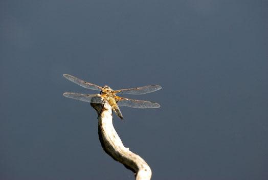 DSC_2961_Libellule à quatre taches-Libellula quadrimaculata-Libellulidae