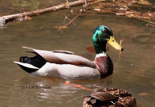 Stockente (Anas platyrhynchos) In der Bildmitte ein Erpel im Prachtkleid (rechts das Weibchen) [Laacher See, RLP] (März)
