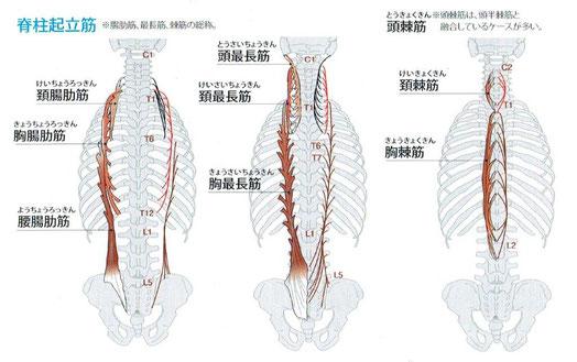 腸肋筋および最長筋は、それぞれ3部から構成されていますが各々の境界は不明瞭です。