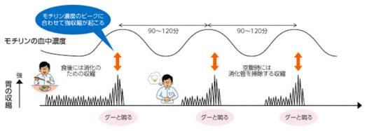 モチリン濃度のピークに合わせて強集縮が起こる。