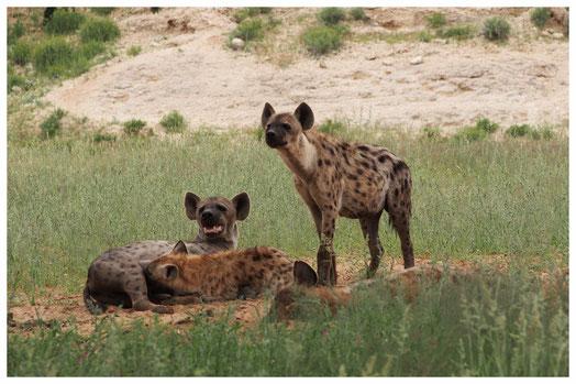 Hyène tachetée de Namibie