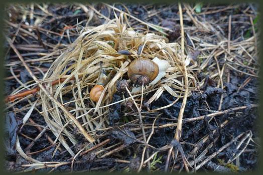 Auf dem Kompost tummeln sich die Schnecken.