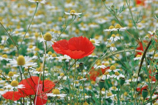 Kamille Blüte Mohn Wiese