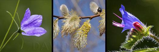 Campanula, Salix und Echium: Powervolle Pollenproduzenten