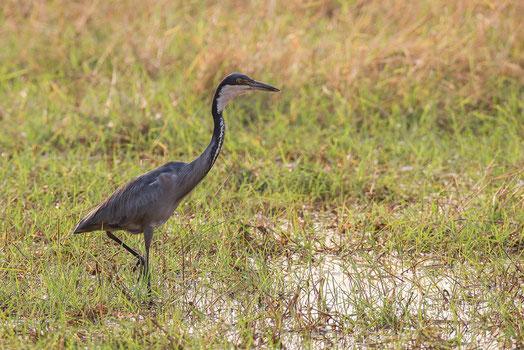 Héron mélanocéphale oiseau Sénégal Afrique Stage Photo J-M Lecat Non libre de droits