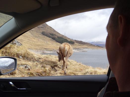 Het is heel normaal om in Schotland wilde dieren zoals dit hert van zo dichtbij te zien. Dat doet iets met je. Kijk voor meer foto's bij foto's Schotland in de menubalk.