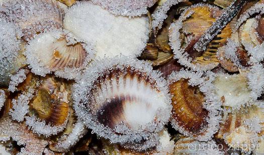 Conchiglie con brina.....in una gelida mattina d'inverno.....sulle sponde delle Valli di Comacchio.............