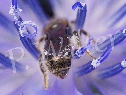 Bild: Furchenbiene in der Wegwartenblüte