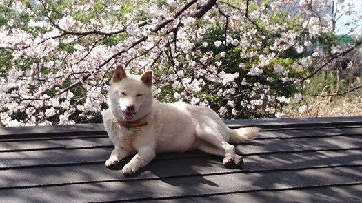 白柴犬とソメイヨシノ(桜)