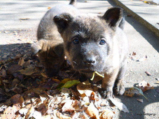 甲斐犬仔犬、生後6週間目。ちゃんと落ち葉の上でうんちしている♪