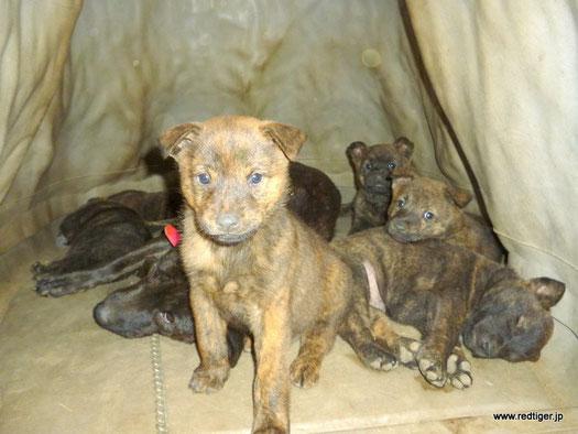 甲斐犬仔犬、生後6週間目。あれ、仔犬が7頭、全員集合している。何故か皆、AYU♀のところでくつろいでいる。