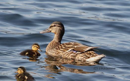 Stockente (Anas platyrhynchos) Weibchen mit Küken [Laacher See, RLP] (Juni)