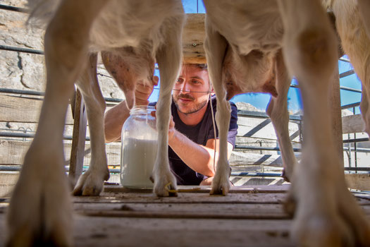 Bastian milking the goats in the morning