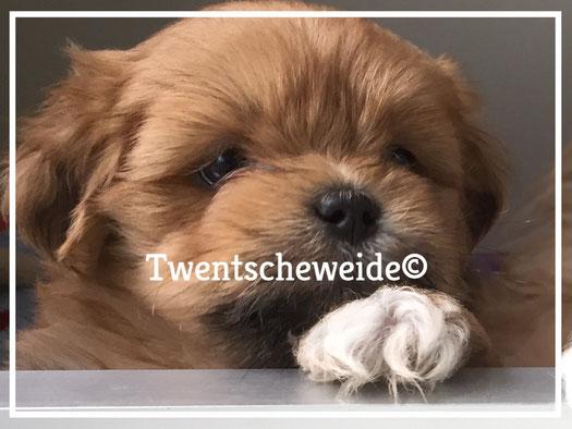 shih-tzu-boomer-kruising-pups