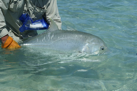 Fly fish The Seychelles, GT catch & release, FFTC.club saltwater destination, Alphonse Atoll, Fly fish the best saltwater destinations at the Seychelles.