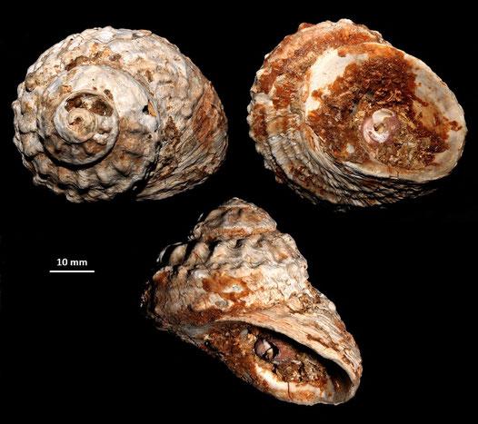 Bolma rugosa, Sant'Agostino (Civitavecchia, RM): notare un Clanculus corallinus incastonato nella bocca
