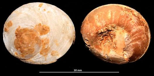 Opercolo di Bolma rugosa, Sant'Agostino (Civitavecchia, RM)