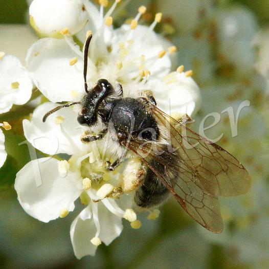 07.06.2015 : Wildbiene an Feuerdornblüten