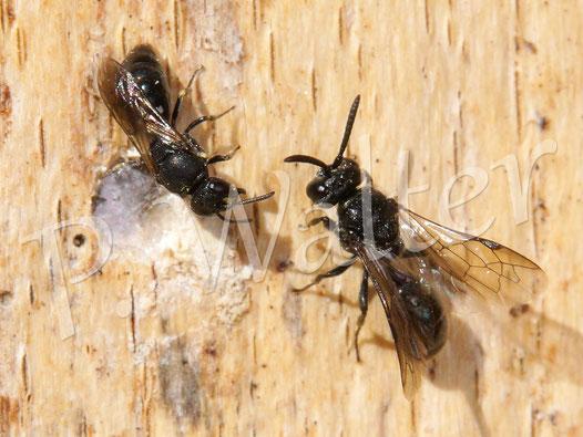 27.09.2014 : Maskenbiene beim Verschließen ihres Nests mit ungewünschtem Besuch