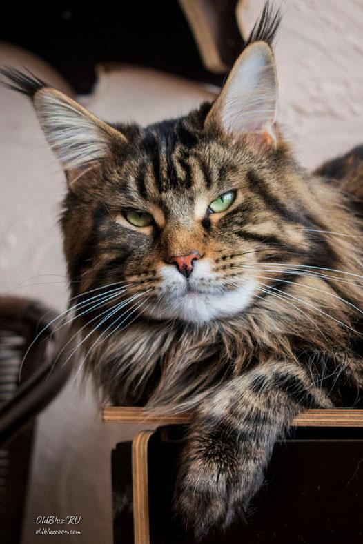 RU*Unicum I-Coon кот мейн-кун черный мраморный MCO n 22
