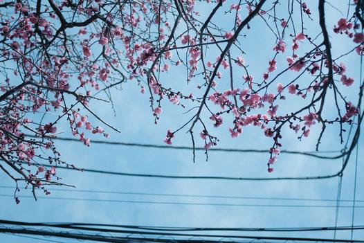 電線と梅、なんということのない二月の街路