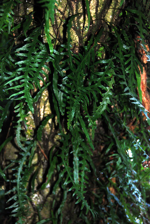 Possibly the climbing fern, Phymatosorus scandens (Fragrant Fern/mokimoki) on the Taupo Head walk, Golden Bay.