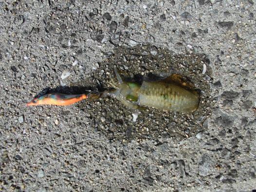 小ぶりなアオリイカの写真2