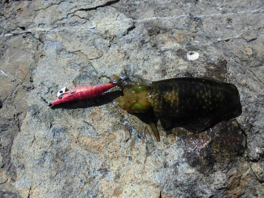小ぶりなアオリイカの写真