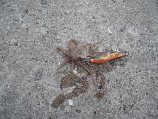 餌木でつれたイイダコの写真