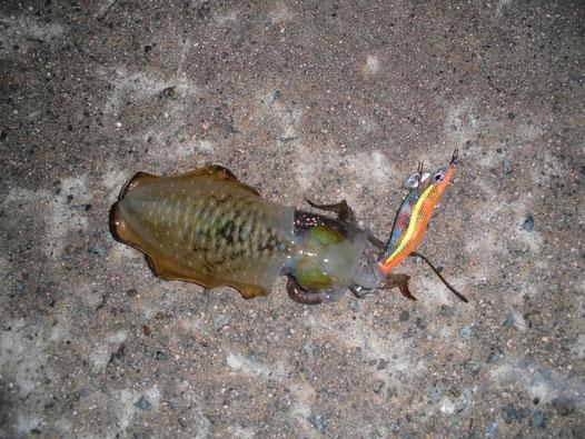 4匹目に釣れたアオリイカの写真