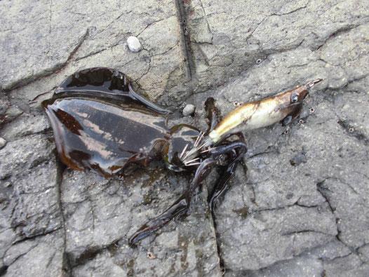 コロッケサイズのアオリイカの写真