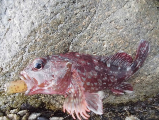 釣れたカサゴの写真3
