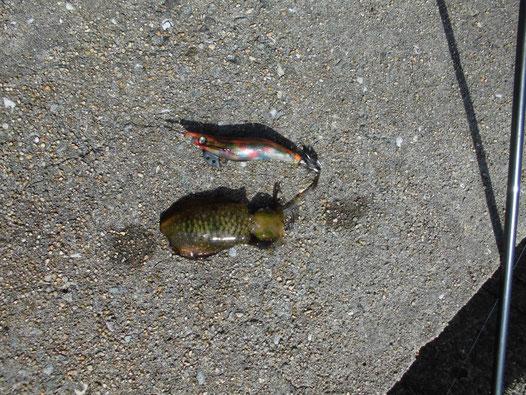 3号の餌木より小さいアオリイカの写真