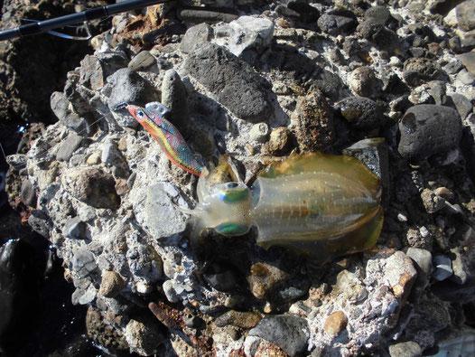 ようやく釣れたアオリイカの写真