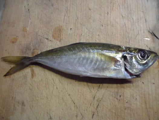 特牛漁港で釣れたアジの写真