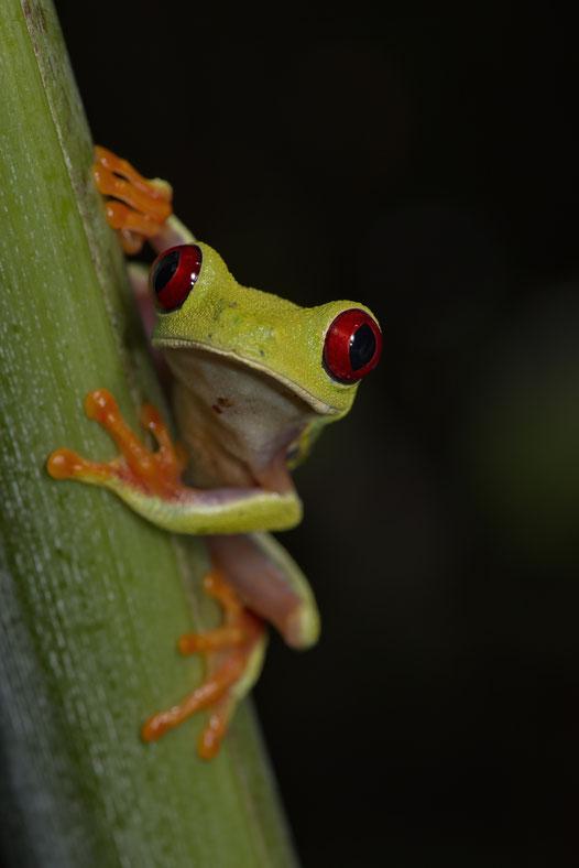 Rotaugenlaubfrosch (Agalychnis callidryas)