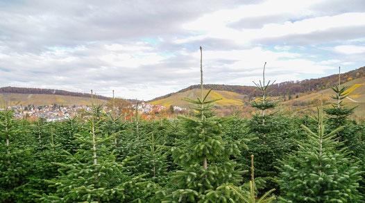 Weihnachtsbaumkultur auf landwirtschaftlichen Flächen [© Foto: Dr. G. Strobel]