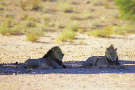 Löwen im Kgalagadi Transfrontier Park