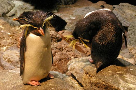 Southern Rockhopper Penguin im New England Aquarium, Boston