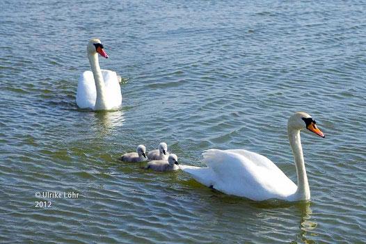 Schwanenfamilie auf der Brandenburger Havel