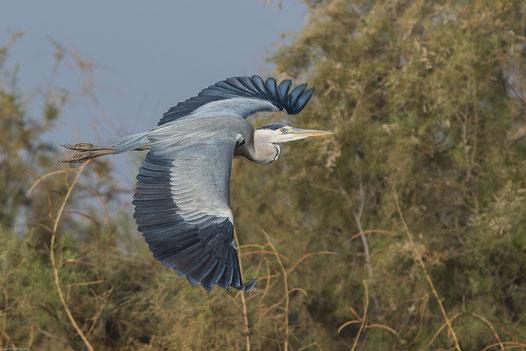Héron cendré oiseau Sénégal Afrique Stage Photo J-M Lecat Non libre de droits