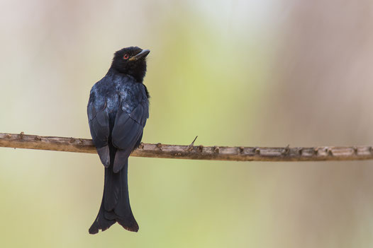 Drongo brillant, oiseau, Sénégal, Afrique, safari, stage photo animalière, Jean-Michel Lecat, photo non libre de droits