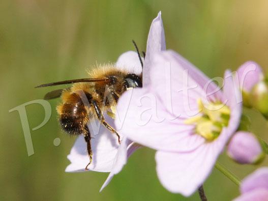 Bild: Männchen einer Rostroten Mauerbiene, Osmia bicornis